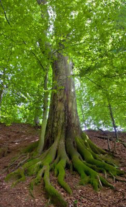 Tall tree roots