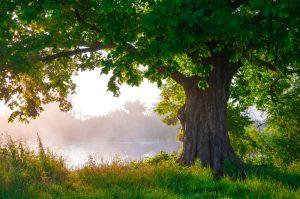 Big Oak Tree in Tampa