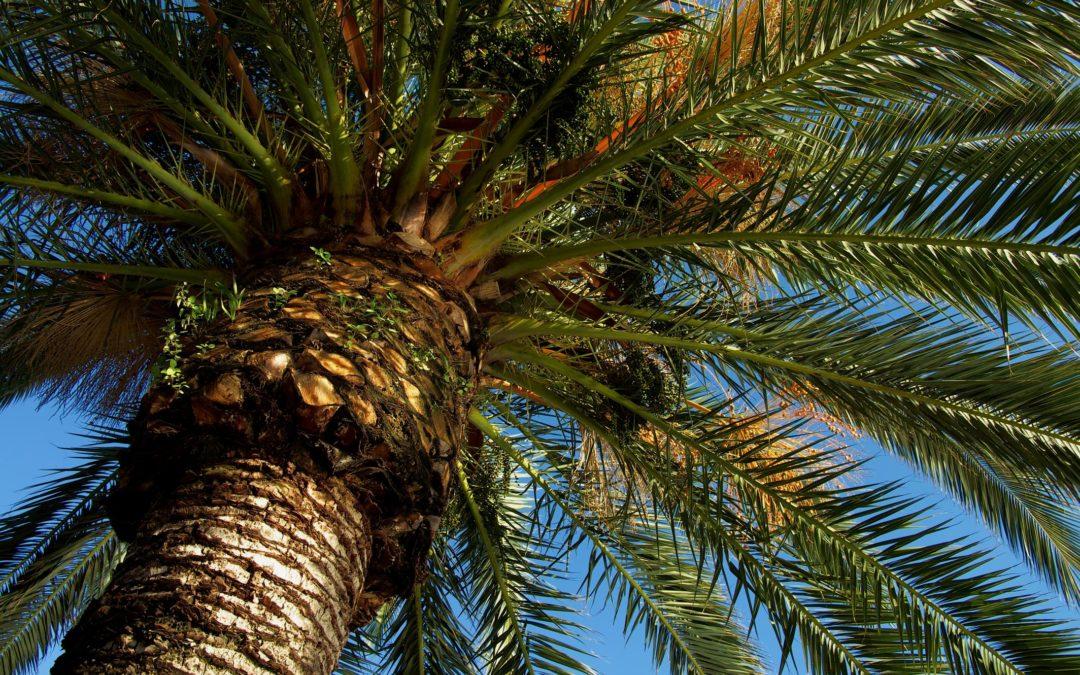 Florida Palm Trees & Ganoderma Butt Rot