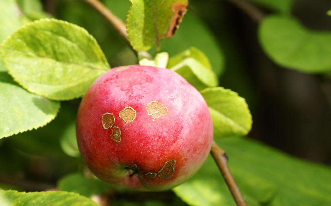 Treating Apple Scab Fungus