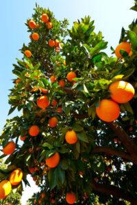 Tampa Tree Care Types of Orange Trees in Florida