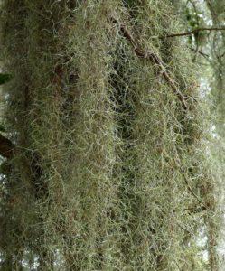 Tampa Tree Care Growing Spanish Moss