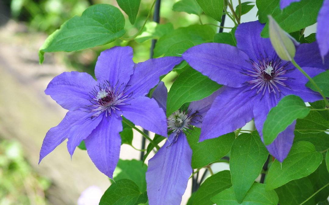 South Florida Flowering Vines