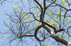 Tampa Tree Care The Gumbo Limbo Tree